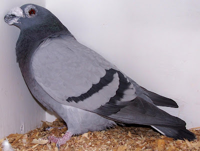 English Dragoon Pigeon