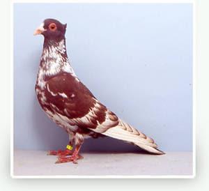 Berne Half Beak Pigeon
