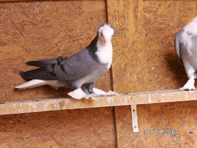 Thuringian White Bib Pigeon