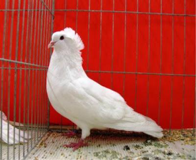 Montauben French Breed Pigeon