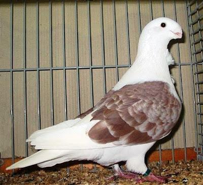 Antwerp Smerle Pigeon