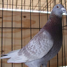 Devriendt Pigeon