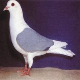 Thuringian Field Pigeon