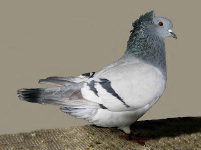Crested Soultz Pigeon