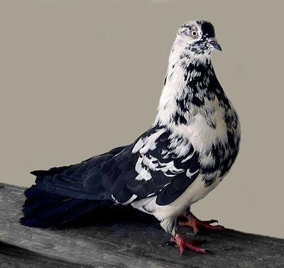 Polish Orlik Ukrainian Skycutter Pigeon