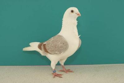 Macedonian Turbit Pigeon