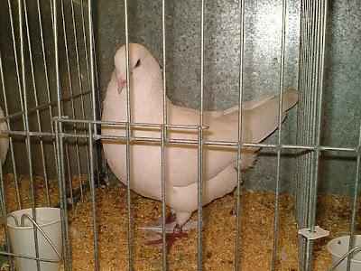 Swiss Mondain Pigeon