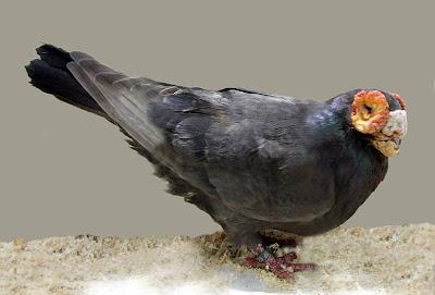 Polish Barb Pigeon