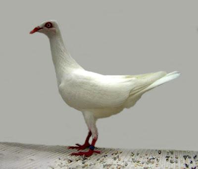 Stralsunder Highflyer Pigeon