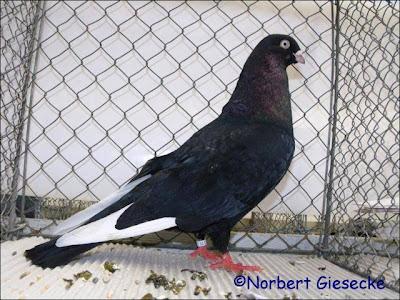 Memel Highflyer Pigeon
