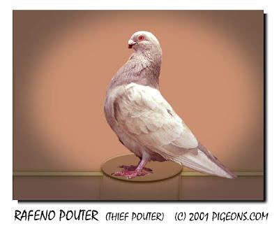 Rafeno Pouter Pigeon