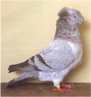 Franconian Trumpeter Pigeon