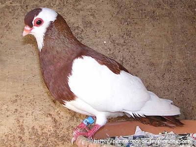 Rakovnik Roller Pigeon