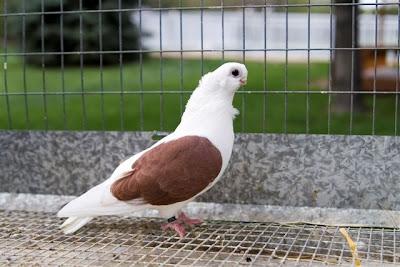 Polish Owl Pigeon