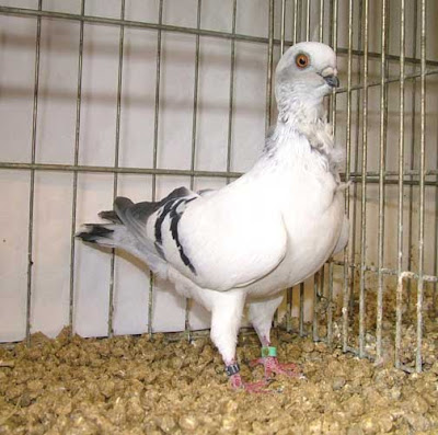 Italian Owl Pigeon