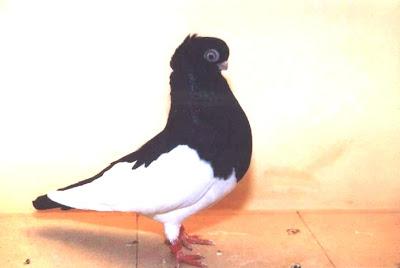 Hamburg Tumbler Pigeon