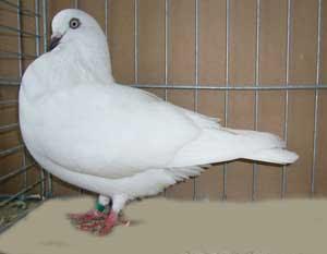 Hanover Tumbler Pigeon