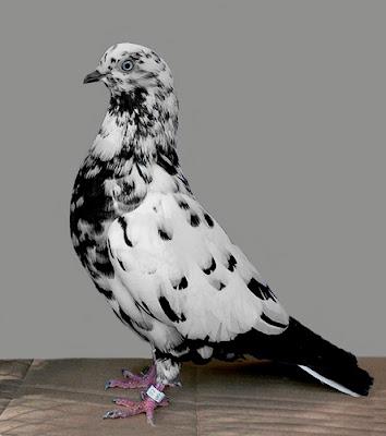 Parlor Tumbler Pigeon