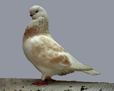 English Long Faced Clean Legged Tumbler Pigeon