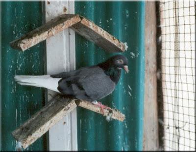 Mulakat Turkish Tumbler Pigeon