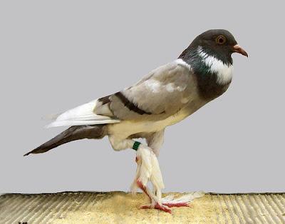Pigmy Pouter Pigeon