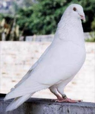 White Flying Homer Pigeon