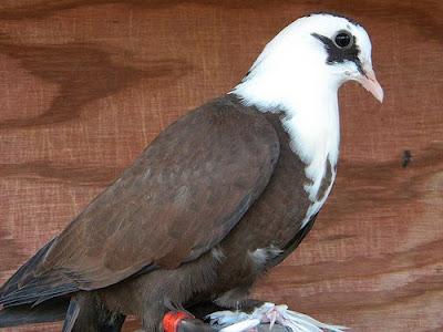 Shirazi Pigeon - Shakhsharli Tumbler Pigeon