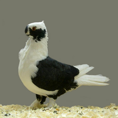 Syrian Turbiteen Pigeon - Barbarisi Owl Pigeon