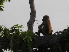 Baby baboon contemplates the meaning of life