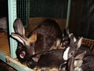 indukan kelinci marten sable