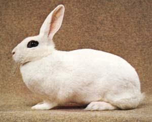 asal-usul kelinci blanc de hotot