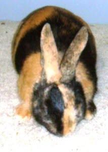 sang badut kelinci