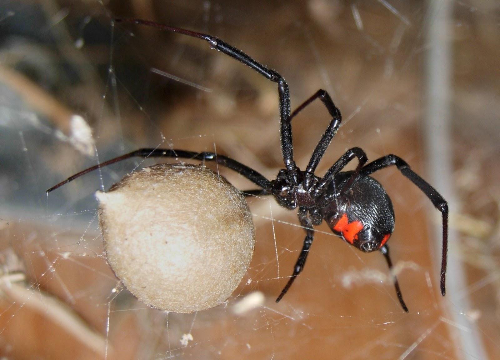 К чему беременным снятся пауки 50