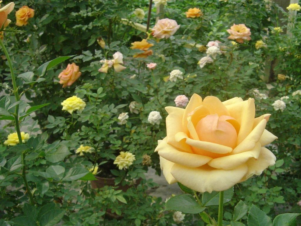 Mi hermoso jardin de rosas y mariposas for Cancion jardin de rosas en ingles