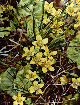 Yellow Marsh-Marigold
