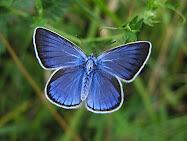 Borboleta Azul (Gaúcha)