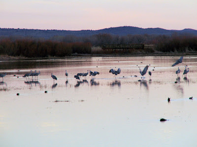 Bosque del Apache: Sandhill cranes home for the evening