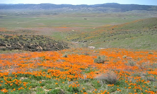 California Poppy Rese