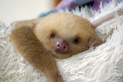 Here's a picture of a baby sloth. Medusa. **UPDATE**