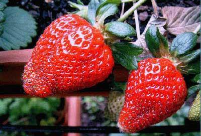 Las fresas o los pezones vegetales