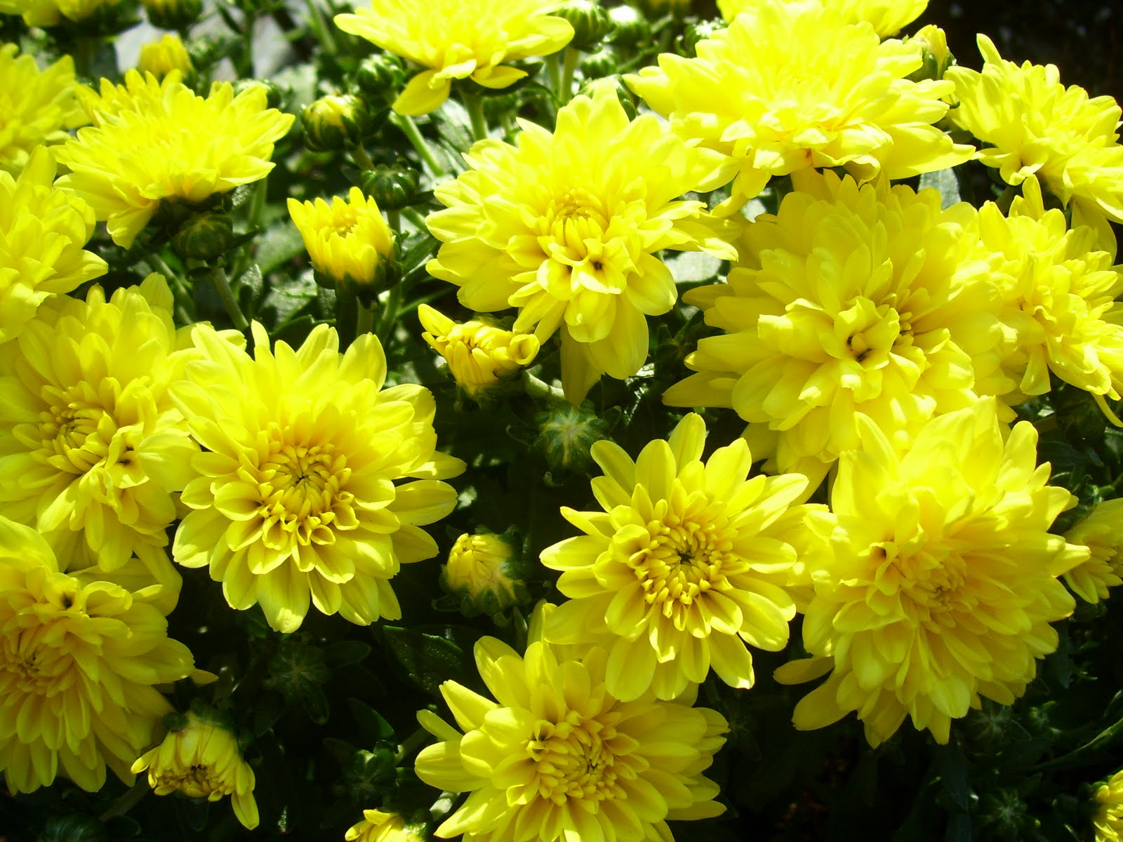 Peridotsgardenblog Fall Flowers Chrysanthemums And Asters