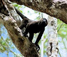 Calakmul mono