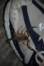 Posada scorpion