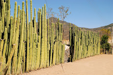 Cactus fence on road to Hierve el Agua