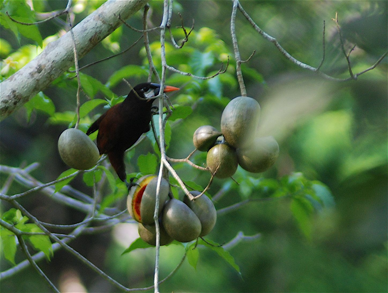 Oropendula fruit stand