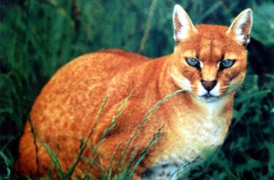 http://2.bp.blogspot.com/_rlTOI_eC7dY/SQW_wdYl_oI/AAAAAAAADuo/SFg152Y3kds/s400/african_golden_cat.jpg