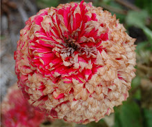 Fall Zinnia: Music for the Eyes