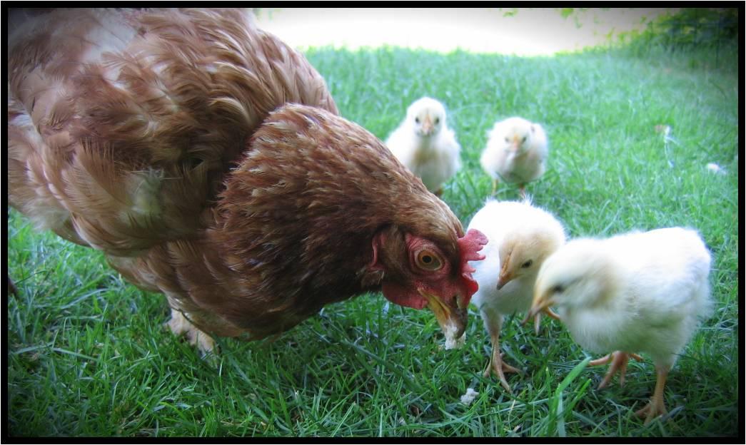 [Hen_Chicken.jpg]