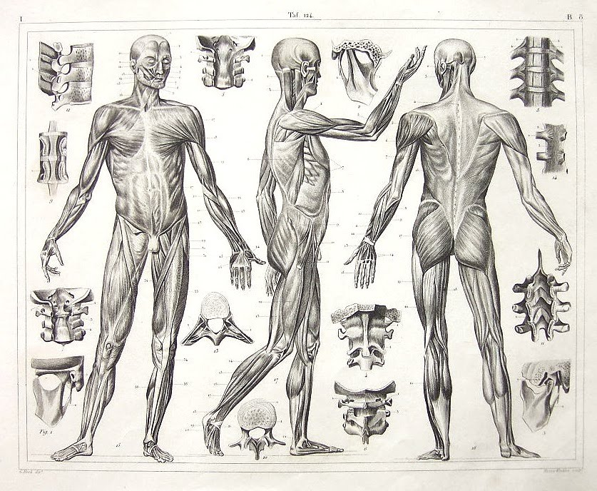 figure drawing: anatomy of the muscles - johann georg heck's, Muscles