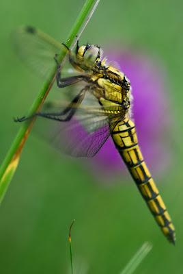 UICN : papillons, scarabées et libellules menacés par la disparition de leur habitat